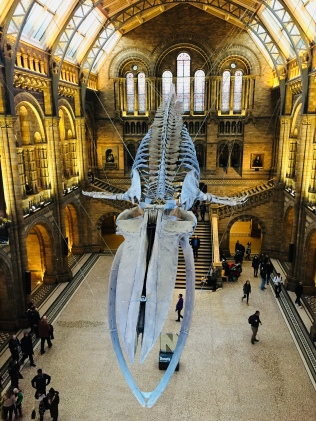 A blue whale in the Natural History Museum, Kensington